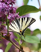 Scarce Swallowtail Butterfly on Lilac