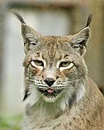 syberian lynx