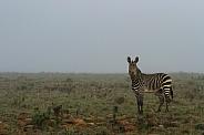 Mountain Zebra in the mist