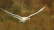 Bewick's Swan in Flight