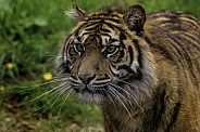 Sumatran Tiger Focused