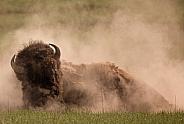 Bison bull dust bathing