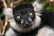 Black And White Belted Ruffed Lemur Face Shot