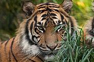 Sumatran Tiger Peeping Out Of Grass