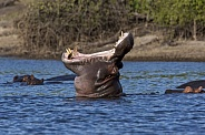 Hippopotamus - Chobe River - Botswana