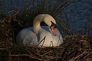 Swan on her nest