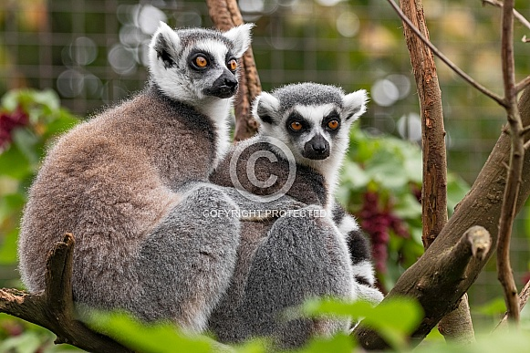 Two Ring Tailed Lemurs Sitting Together