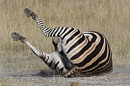 Zebra enjoying a dust bath - Botswana