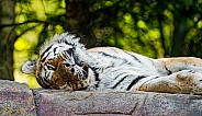 Amur Tiger resting on Rock.