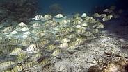 School of tropical fish - Tahiti - South Pacific Ocean