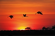Yellowbilled Storks at sunset - Botswana
