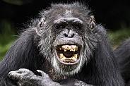 Chimpanzee Showing Teeth