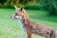 An alert Fox