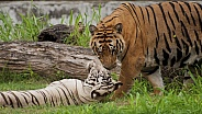 Tiger & White Tigress