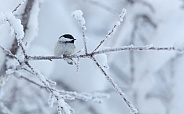 Black-capped Chickadee during Winter in Alaska