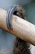 Sloth claw