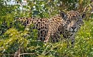 Pantanal Jaguar Face