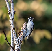 Female Downy Woodpecker in Alaska