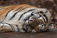 Amur tiger, close up