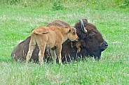 Bison, mother and calf