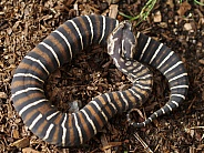 Scaleless Death Adder