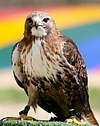 African red-tailed buzzard