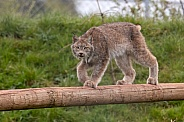 Canadian Lynx Walking Along Log