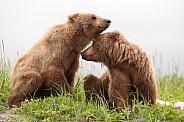 Wild Alaskan Brown Bears