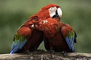 Green Wing Macaws Preening Each Other