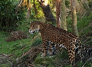 Male Jaguar Guarding