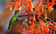Hummingbird in the Orange Aloe