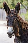 Poitu Donkey