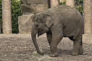 Asiatic Elephant Calf Full Body Side Shot