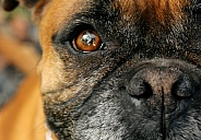 Boxer, close up