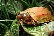 Black-breasted leaf turtle (Geoemyda spengleri)