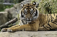 Sumatran Tiger Lying Looking At Camera