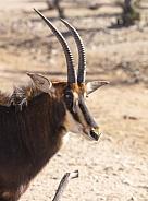 Gemsbok profile in the sun