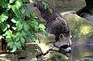 Raccoon drinking