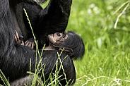 Newborn Chimpanzee In Mothers Arms