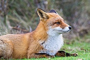 Red fox relaxing in the grass