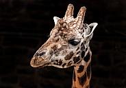 Rothschild's Giraffe Close Up Head Shot Black Background
