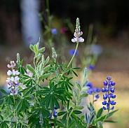 Sky Lupine Garden Flowers