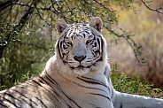 Outdoor portrait of a white tiger