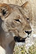 Lioness - Etosha - Namibia