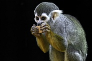 Squirrel Monkey Eating Nibbling