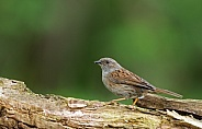 The dunnock (Prunella modularis)