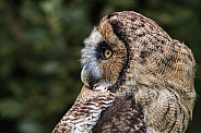 Hybrid Owl Species Side Profile Close Up