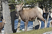 Big Horn Sheep, ewe