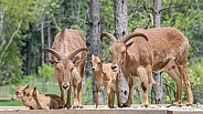 Barbary Sheep with Lambs
