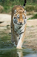 Cat Walk Indian Tiger